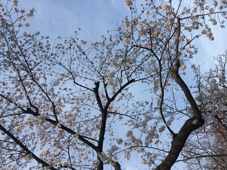 sakura (4).JPG