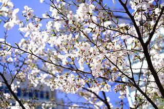 Sakura Watch